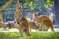 Kangoeroe die zich in het wilde leven bevinden stock foto's