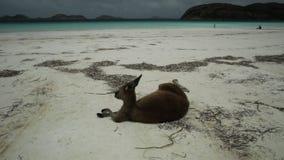 Kangoeroe die zich in Lucky Bay bevinden stock video