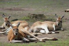 Kangoeroe in dierentuin Stock Foto's