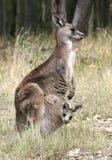 Kangoeroe en Joey Stock Afbeelding