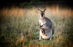 Kangoeroe en Joey Stock Fotografie