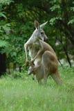 Kangoeroe en Joey Stock Foto