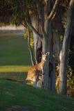 Kangoeroe en joey Royalty-vrije Stock Foto