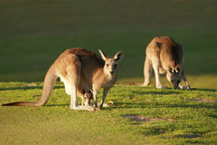 Kangoeroe en joey Stock Foto's