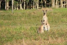 Kangoeroe en joey Stock Afbeeldingen