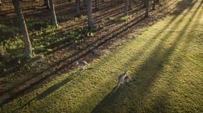 Kangoeroe en Joey Morning-het Eiland van de meningshoop, Gouden Kust die coomerarivier bekijken royalty-vrije stock foto's