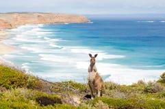 Kangoeroe en oceaan Royalty-vrije Stock Foto's