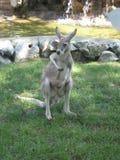 Kangoeroe, het Dierlijke Wild, Australiër, Mammalians, Jongelui, Dierentuin stock foto's
