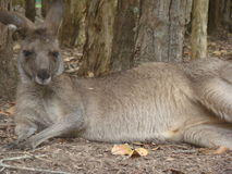 Kangoeroe het lazing in de zon royalty-vrije stock foto's