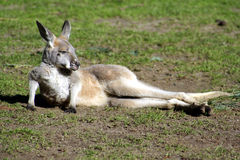 Kangoeroe Joey, Australië Stock Fotografie