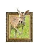 Kangoeroe in kader met 3d effect Stock Afbeeldingen