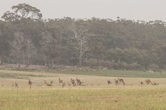 Kangoeroe menigte op een groot gebied royalty-vrije stock foto
