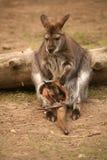 Kangoeroe met baby Royalty-vrije Stock Foto's