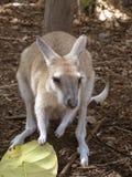 Kangoeroe met een blad Stock Afbeeldingen