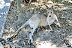 Kangoeroe met een joey in haar zak Stock Afbeeldingen