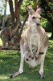 Kangoeroe met joey Stock Foto