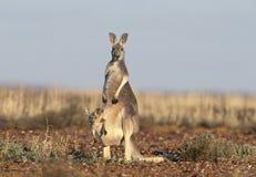Kangoeroe met joey Stock Foto's