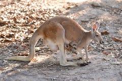 Kangoeroe met joey Royalty-vrije Stock Foto