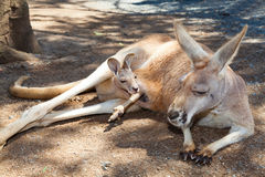 Kangoeroe met joey Royalty-vrije Stock Foto's