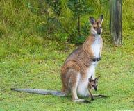 Kangoeroe met joey Royalty-vrije Stock Fotografie
