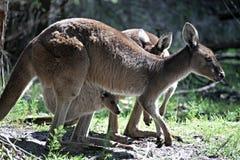 Kangoeroe met Joey in Zak Stock Fotografie