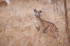 Kangoeroe in natuurlijke habitat Australië royalty-vrije stock afbeeldingen