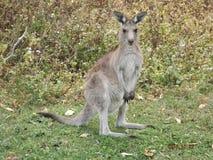 Kangoeroe omzichtig en klaar te springen Stock Fotografie