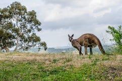 Kangoeroe op de heuvel stock afbeeldingen