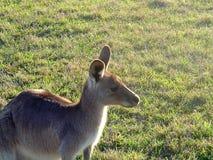 Kangoeroe op Gebied Royalty-vrije Stock Afbeelding