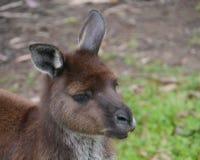 Kangoeroe op Kangoeroeeiland Stock Fotografie