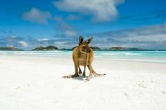 Kangoeroe op Lucky Bay stock foto