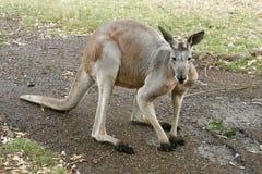 Kangoeroe op zijn voeten Stock Foto