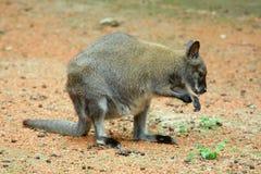 Kangoeroe in openlucht in aard Stock Foto