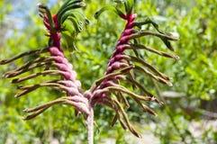 Kangoeroe Paw Plant royalty-vrije stock foto