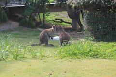 Kangoeroe twee in Parc Phoenice in Nice royalty-vrije stock afbeeldingen