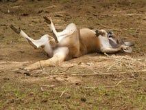 Kangoeroediva Stock Foto's