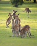 Kangoeroefamilie Menigte op Golfcursus Royalty-vrije Stock Foto