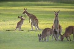 Kangoeroefamilie met mamma en joey Stock Foto