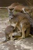 Kangoeroemoeder met baby Royalty-vrije Stock Afbeelding
