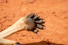 Kangoeroepoot stock afbeeldingen