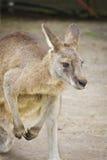 Kangoeroeportret Stock Afbeelding