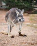 Kangoeroeportret Stock Afbeeldingen