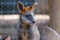 Kangoeroepuppy met familie Stock Fotografie