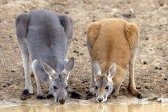 Kangoeroes Stock Foto's