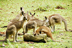 Kangoeroes Royalty-vrije Stock Foto's