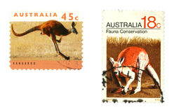 Kangoeroes Stock Afbeelding