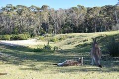 kangoeroes stock foto