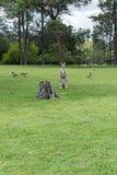 Kangoeroes in Australië Royalty-vrije Stock Afbeeldingen