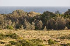 Kangoeroes bij zonsondergang Eurobodalla nationaal park australië Royalty-vrije Stock Fotografie