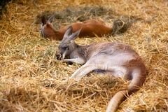 Kangoeroes die op hooi rusten Royalty-vrije Stock Afbeelding